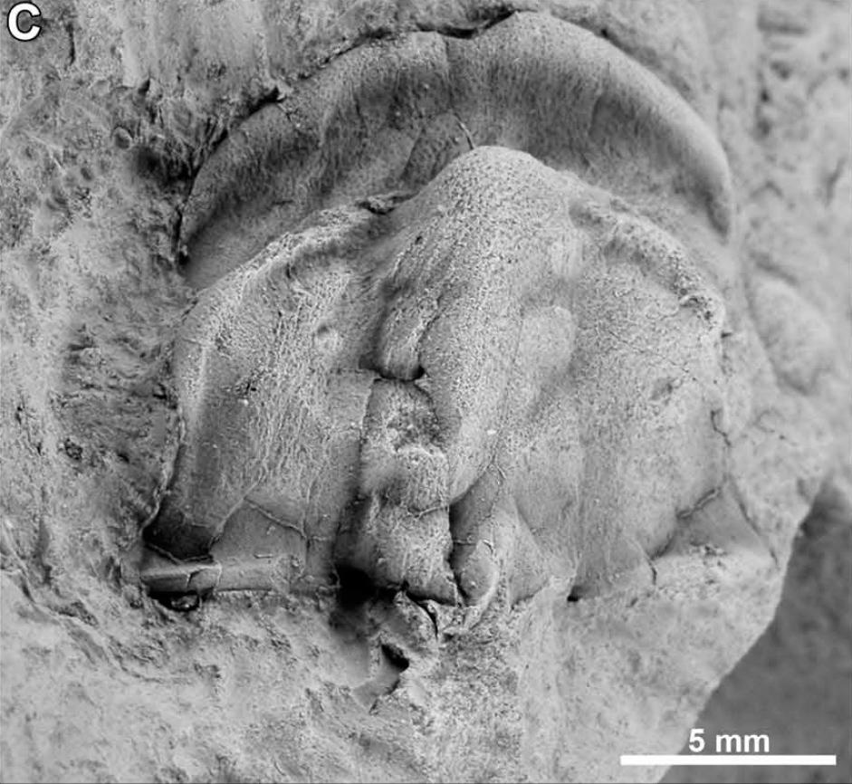 Dos nuevas especies de trilobites del Cámbrico inferior (Ovetiense)